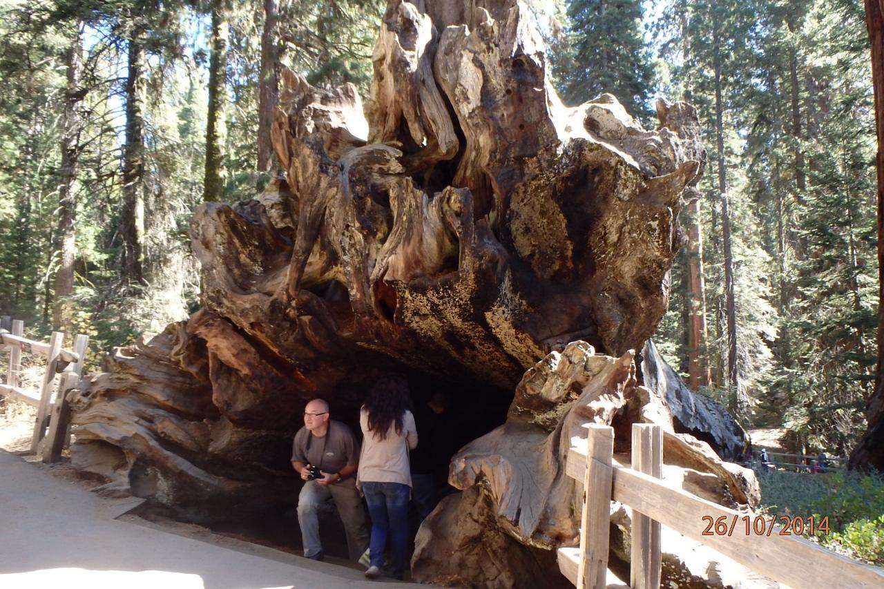 Sequoia park : un arbre tombé