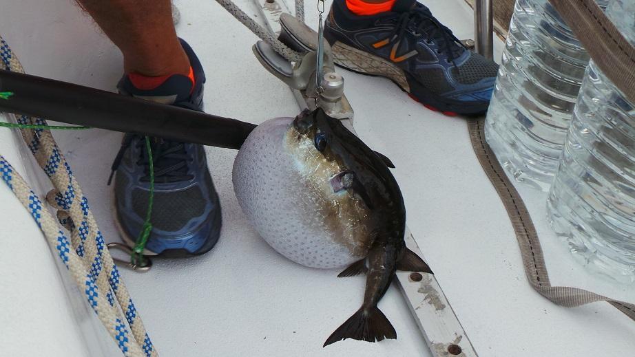 On pêche... des poissons coffres !
